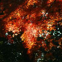 神代植物公園の紅葉を撮る!