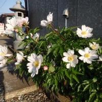 牡丹の花言葉
