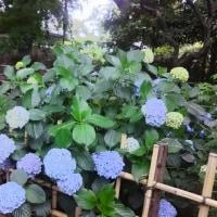 「ほゝづき縁日」の紫陽花
