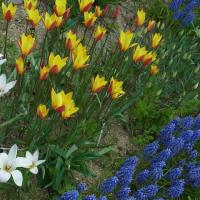 原種チューリップのクリサンタが開花