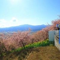 河津桜と菜の花・松田山