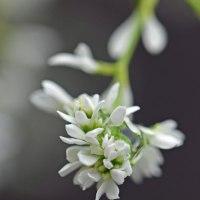 ユーフォルビア・ダイアモンドスターの花