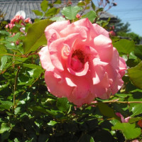 真ん中で咲いてます。蔓バラのドリームウィーバー