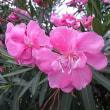 季節の花「夾竹桃 (きょうちくとう)」