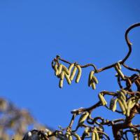 セイヨウハシバミの花