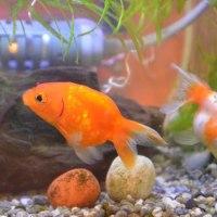 金魚サバイバルⅥ ~掃除&水草追加~