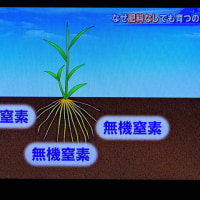 4/23 稲の根はその無機窒素だけで育つ