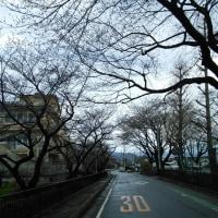 沼田の桜はまだこんなもの