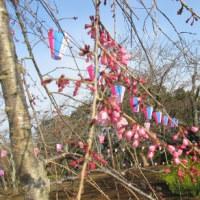 「第65回衣笠さくら祭」衣笠山公園 桜の開花状況 2017年3月28日(火)