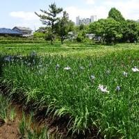 佐倉城址公園の花菖蒲とスイレン