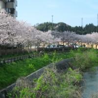 桜も見納めかな。。。