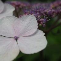 紫陽花の続き!