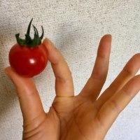 ミニトマトはリコピンよ(ᵔᴥᵔ)