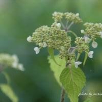 山アジサイの花