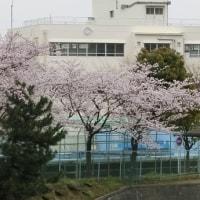 2017桜 (その四) 横浜 必塗マン