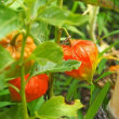 ウバユリが咲きだしました