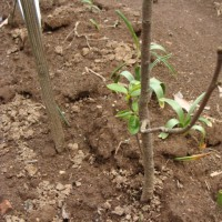 種から成長したアボガドの木