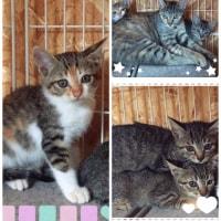 すべて決まったそうです。千葉県印西市猫里親募集。とってもかわいい母猫と子猫2ヶ月4匹。No.0048
