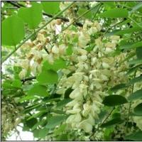 ハリエンジュの白い花