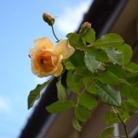 12月になって薔薇バフ・ビューティーが咲いて