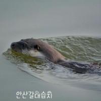 韓国 シファ湖カワウソ観察エコツアーを行います(1月1日より2月下旬まで)