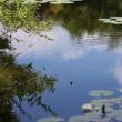 夏空に白い睡蓮咲く ~ モネの庭から(その296)