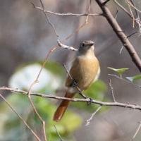 埼玉県坂戸市にある浅羽ビオトープでは、ジョウビタキのメスも観察しました