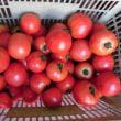 「障がい者支援トマト」大収穫