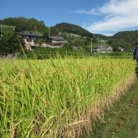 黄金色の米の出来は。
