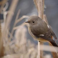 170112/15_引地川親水公園-1 <野鳥>