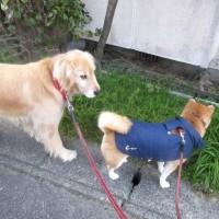 おかあさんと サラ・クラとお散歩 170227
