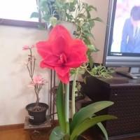 アマリリスって真冬に咲くの?