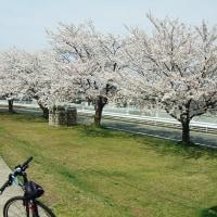 4月22日土曜日発行の「柏崎情報パーク」& 桜巡り④