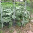 野菜畑のこと24