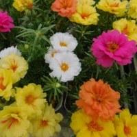 ヒューケラの花 & マツバボタン ハッピーアワー