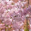【桜巡りの旅】 大阪造幣局の桜 その3