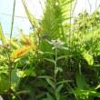 高ボッチ高原・鉢伏山で最近咲いている花 ウスユキソウ(薄雪草)