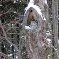 原始林のシマフクロウ