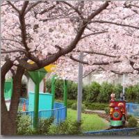 桜を見下ろす。