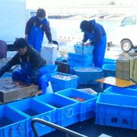 もう春だな 産地漁業市場の風景