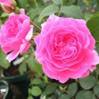 アマリリスとピンクのバラ