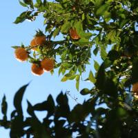 柚子の収穫