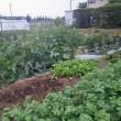 我が家の家庭菜園の野菜が採れはじめました。