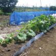 今年もカボチャの収穫は増えそう(Blog575)