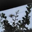 サルスベリが咲きはじめました