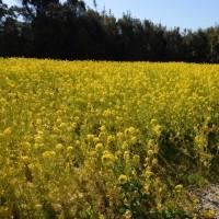 渥美半島 菜の花まつり へ