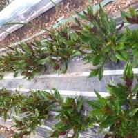 金時草のアブラムシ対策を強化