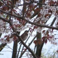 ツグミ、山桜のなか