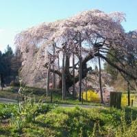 福島県二本松市、中島の地蔵桜です!!