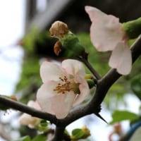 源平咲きのボケ(木瓜)の花